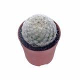 Cactus pot. Mammillalia plumosa isolate on white background Stock Photos
