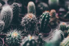 Cactus in the pot, many cactuses stock photography