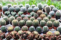 Cactus in a pot Stock Photos