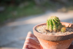 Cactus in pot. Natural plant out dooe Royalty Free Stock Image