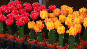 Cactus in pot. Red yellow and green Cactus in pot Stock Image