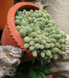 Cactus in a pot Stock Photo
