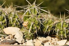 Cactus in a pot Stock Image