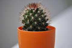 Cactus in the pot. Small green cactus in the orange pot Royalty Free Stock Images
