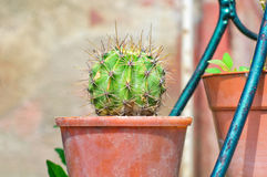 Cactus in a pot Royalty Free Stock Photo