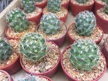 Cactus in pot Stock Images