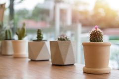 The Cactus in pot on table wooden business small of nature  background. Cactus in pot on table wooden agriculture business small of nature  background stock photo