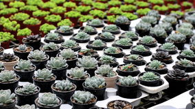 Cactus in pot. A variety of cactus in the nursery, Thailand stock video