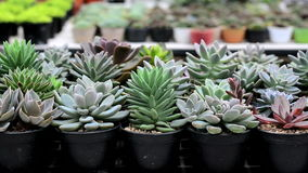 Cactus in pot. A variety of cactus in the nursery, Thailand stock footage
