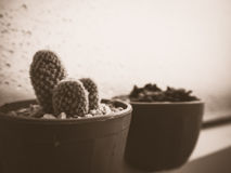 Cactus pot on the window. Royalty Free Stock Images