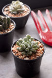 Cactus in pots Stock Photography