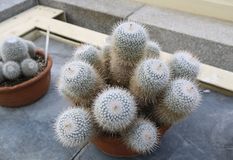 Cactus in pots royalty free stock photos