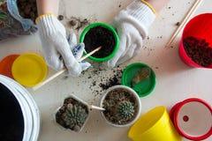 Cactus, pots colorés, vue supérieure de mains Images stock