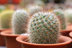 Cactus in pots. Lovely cactus in brown pots stock image