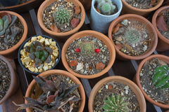 Cactus in pots Royalty Free Stock Images