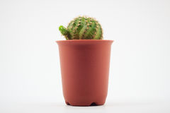 Cactus in pots Stock Image
