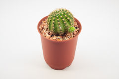 Cactus in pots Royalty Free Stock Photo