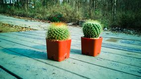 Cactus in pots on wooden floors royalty free stock images