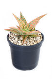Cactus Potted Plant. Royalty Free Stock Photography