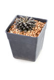 Cactus Potted Plant. Royalty Free Stock Image