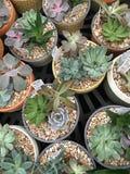 Cactus in potten Stock Afbeeldingen