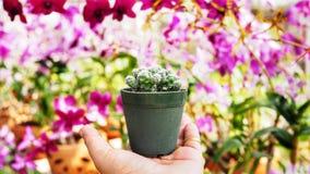 Cactus in potten op hand worden geplaatst die royalty-vrije stock foto's