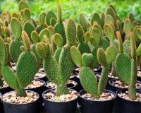 Cactus in potten wordt geplant die stock fotografie