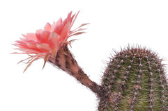 Cactus with prickles is blooming Royalty Free Stock Image