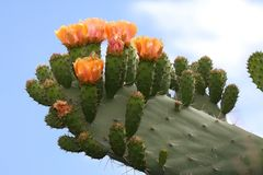 Cactus or Prickly Pear Flowers royalty free stock photos