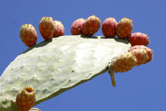 Cactus and prickly pear fruit Stock Photos