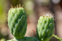 Cactus prickly pear. Green prickle Stock Images