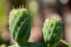 Cactus prickly pear. Green prickle Royalty Free Stock Photos