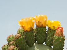 Cactus or Prickly Pear (Opuntia L) Royalty Free Stock Photography