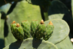 Cactus prickly pear opuntia with unripe green fruits Stock Image