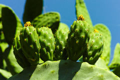 Cactus prickly pear opuntia with unripe green fruits Stock Images