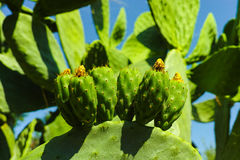 Cactus prickly pear opuntia with unripe green fruits Royalty Free Stock Photo
