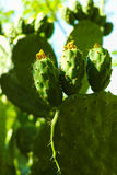 Cactus prickly pear opuntia with unripe green fruits Stock Photos