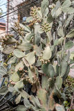 Cactus and prickly pears Royalty Free Stock Photos