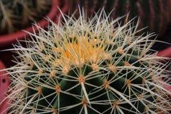 Cactus, primer extremo Fotografía de archivo
