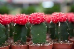Cactus, primer extremo Imagen de archivo