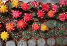 Cactus principal rouge multicolore Photographie stock libre de droits