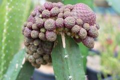 Cactus propagation Stock Photos