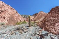 Cactus in Purmamarca, Jujuy, Argentina. Cactus on Los Colorados Path in Purmamarca, near Cerro de los Siete Colores (The Hill of Seven Colors), in the colourful Stock Photos