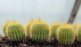 Cactus que crece en invernadero Imagen de archivo libre de regalías