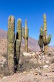 Cactus in Quebrada DE La Humahuaca, Argentinië Royalty-vrije Stock Afbeelding