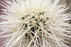 Cactus Quills Royalty Free Stock Photo