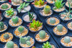 Cactus Radiation Absorb plant. Or DIY home decoration garden eco small world in pot concept stock image
