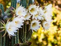 Cactus raro del cirio de floración de noche Fotografía de archivo libre de regalías