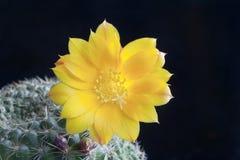 Cactus Rebutia Fotografie Stock Libere da Diritti