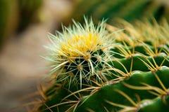 Cactus Rebutia Photos stock